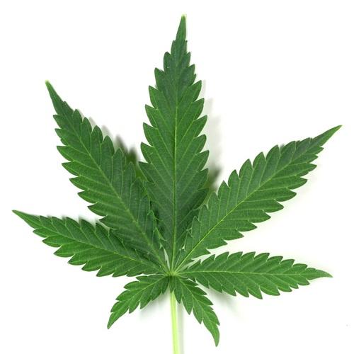 fotos de la planta marihuana: