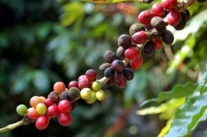 diferentes-puntos-de-maduración-del-grano-de-café